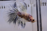 Betta mâle Sélection Photo n°4 (5-6cm)