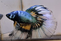 Betta mâle Sélection Photo n°5 (5-6cm)