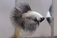 Betta mâle Sélection Photo n°6 (5-6cm)