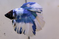 Betta mâle Sélection Photo n°10 (5-6cm)