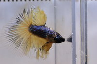 Betta mâle Sélection Photo n°11 (5-6cm)