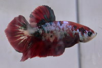 Betta mâle Sélection Photo n°12 (5-6cm)