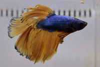 Betta mâle Sélection Photo n°16 (5-6cm)