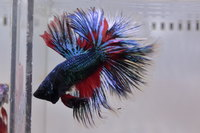 Betta mâle Sélection Photo n°17 (5-6cm)