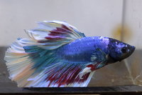 Betta mâle Sélection Photo n°18 (5-6cm)