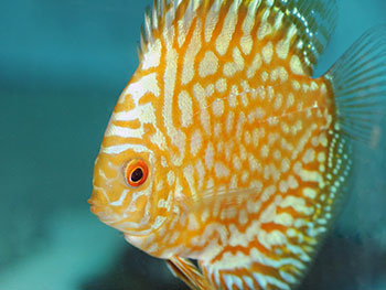 Discus Pigeon Yellow